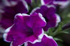 美丽的紫色喇叭花 免版税图库摄影