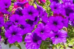 美丽的紫色喇叭花 库存图片