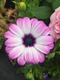 美丽的紫色大丁草雏菊在一个夏天从事园艺 免版税图库摄影