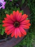 美丽的紫色大丁草雏菊在一个夏天从事园艺 免版税库存照片
