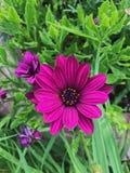 美丽的紫色大丁草雏菊在一个夏天从事园艺 免版税库存图片