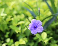 美丽的紫色大竺葵花 库存照片