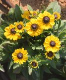 美丽的黄色小向日葵花 免版税图库摄影