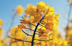 美丽的黄色强奸植物进入开花 免版税库存图片