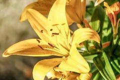 美丽的黄色新墨西哥花 免版税图库摄影