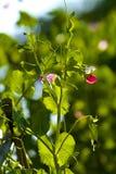 美丽的绿色新鲜的豌豆藤 免版税库存图片