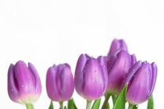 美丽的紫色春天郁金香边界  库存照片