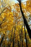 美丽的黄色树在秋天森林里 免版税库存照片