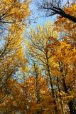 美丽的黄色树在秋天森林里 库存照片