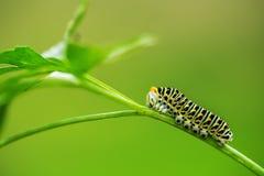 美丽的绿色毛虫在绿草爬行 免版税图库摄影