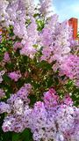 美丽的紫色淡紫色灌木在俄国城市的住宅区 库存图片