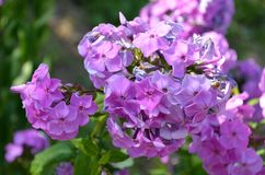 美丽的紫色淡紫色花在春天 库存图片