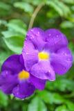 美丽的紫色灌木时钟藤、花和树 免版税库存图片