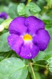 美丽的紫色灌木时钟藤、花和树 库存照片