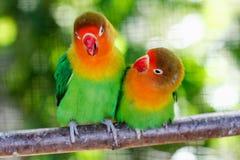 美丽的绿色爱情鸟鹦鹉 图库摄影