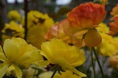 美丽的黄色玫瑰两片树荫  库存照片
