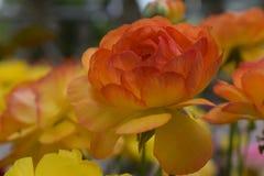 美丽的黄色玫瑰两片树荫  免版税库存照片