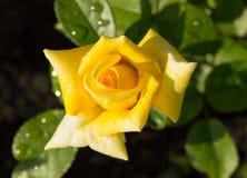 美丽的黄色玫瑰在绿色叶子和词根,明信片的概念庭院背景中开花  免版税库存照片