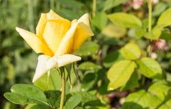美丽的黄色玫瑰在绿色叶子和词根,明信片的概念庭院背景中开花  免版税图库摄影