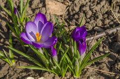 美丽的紫色番红花花 免版税库存照片