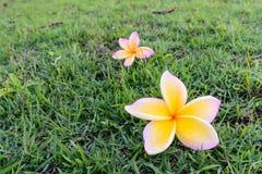 美丽的黄色白色赤素馨花分支开花,羽毛花 免版税库存图片