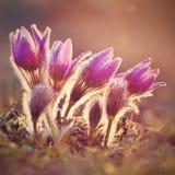 美丽的紫色矮小的毛茸的白头翁 白头翁属grandis白头翁属patens Pasqueflowers 开花在春天草甸 库存照片