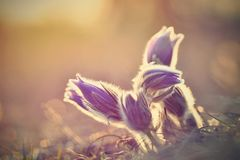 美丽的紫色矮小的毛茸的白头翁 白头翁属grandis白头翁属patens Pasqueflowers 开花在春天草甸 免版税库存照片