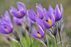 美丽的紫色矮小的毛茸的pasque花 (白头翁属grandis)开花在春天草甸在日落 库存照片