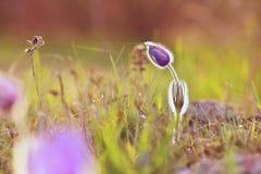 美丽的紫色矮小的毛茸的pasque花 (白头翁属grandis)开花在春天草甸在日落 免版税图库摄影