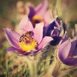 美丽的紫色矮小的毛茸的pasque花 (白头翁属grandis)开花在春天草甸在日落 免版税库存图片