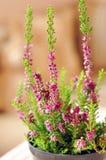 美丽的紫色石南花 库存图片