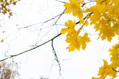 美丽的黄色秋季槭树在分支离开与模糊的白色背景 免版税库存照片