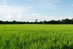 美丽的绿色米被归档的和蓝天 库存图片
