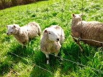 美丽的绿色自然和动物在农场 库存照片