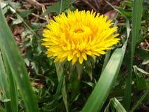 美丽的黄色花和绿色自然背景 免版税库存图片