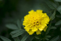 美丽的黄色花在庭院里 库存照片