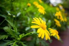 美丽的黄色花在庭院里 免版税库存图片
