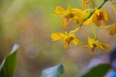 美丽的黄色花野生兰花 免版税库存图片