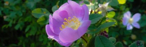 美丽的紫色花 库存照片
