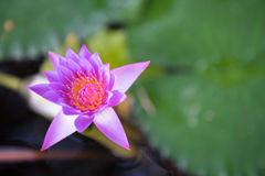 美丽的紫色荷花池在公园 库存照片