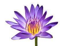 美丽的紫色莲花,紫罗兰色莲花开花在池塘的,特写镜头莲花,莲花紫罗兰色花泰国 免版税库存图片