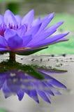 美丽的紫色莲花 库存图片