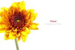 美丽的黄色菊花花 库存照片