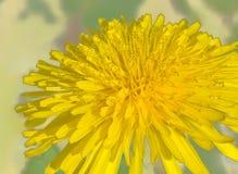 美丽的黄色蒲公英。 图库摄影
