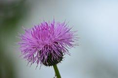 美丽的紫色蓟开花 库存图片