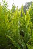 美丽的绿色蕨词根和叶子 蕨类植物 库存照片
