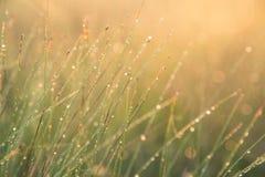 美丽的绿色薹草的领域在早晨光的 在北欧的沼泽风景 免版税库存图片