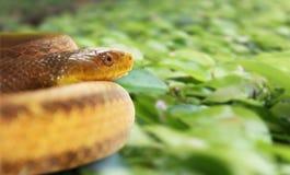 美丽的黄色蛇 免版税库存图片