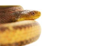 美丽的黄色蛇 库存图片