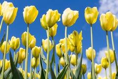 美丽的黄色郁金香开花反对蓝天 免版税库存照片
